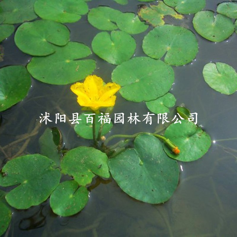 """<div style=""""text-align:center;""""> <strong>荇菜</strong> </div>"""