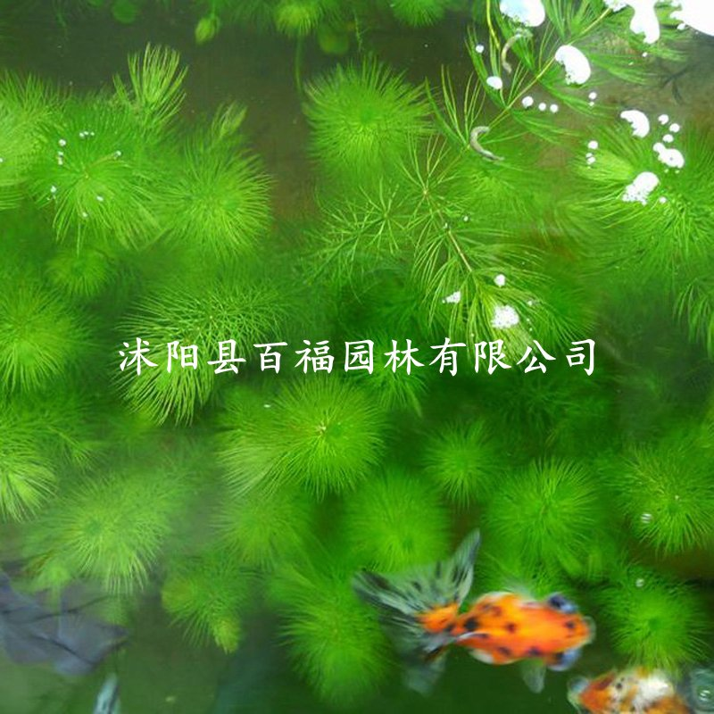 """<div style=""""text-align:center;""""> <strong>金鱼藻</strong> </div>"""